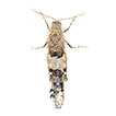 Phenotypic plasticity in color without molt in adult grasshoppers of the genus <i>Sphingonotus</i> (Acrididae: Oedipodinae)