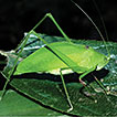 Review of the genus Lunidia Hemp (Orthoptera: ...