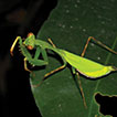 Diversity of mantids (Dictyoptera: Mantodea) ...