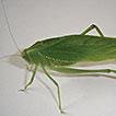 Paraplangia sinespeculo, a new genus ...