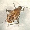 Anaxipha hyalicetra sp. n. (Gryllidae: ...