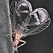Oecanthus mhatreae sp. nov. (Gryllidae: ...