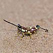 Mopla guttata (Acrididae: Catantopinae) ...