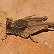 Review of the tribe Amorphopini (Orthoptera: ...