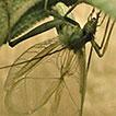 Oecanthus salvii sp. nov. (Orthoptera: ...