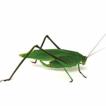 Calling songs of Neotropical katydids ...
