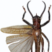 Revision of the tusked bush-crickets ...