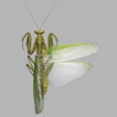 A new subspecies of the mantis Hierodula ...