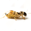 A new species of pygmy mole cricket (Orthoptera: ...